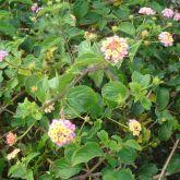 Lantana plant in flower