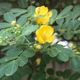 Easter cassia flowers and leaves