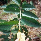 Harungana leaves