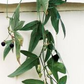 Corky passionflower vine with fruit
