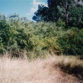 Firethorn infestation