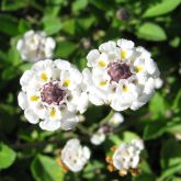 Lippia flowers close-up