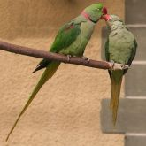 Alexandrine parakeets on branch