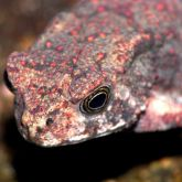 Asian spined toad head
