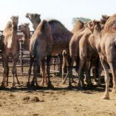 Camels in yard