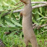 Indian mongoose upright