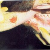 Steer with 2-day-old ruptured vesicles on  tongue, lower gum and lower lip. Note sharp edges to ulcerated areas.