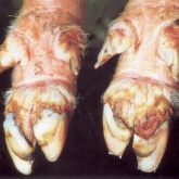 Pig's feet with 9-day-old lesions.