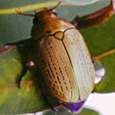 Christmas beetle (A. boisduvali)