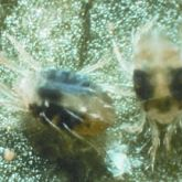 Two small clear insects with black markings in water