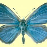 Butterfly with blue upperside