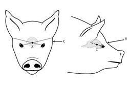 A diagram of a pig's head with arrows and markings to indicate where to aim a weapon to humanely destroy or kill a pig