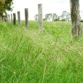 Chilean needle grass infestation