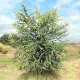 Prickly acacia plant form