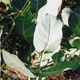Calotrope leaf
