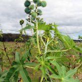 Castor oil plant stem and leaves