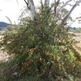 Firethorn plant form