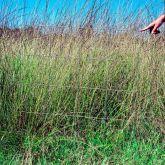 Parra grass plant