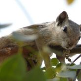 Indian palm squirrel in tree