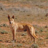 Dingo in outback