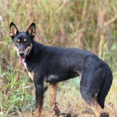 Wild dog black fur