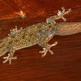 Asian house gecko on beam