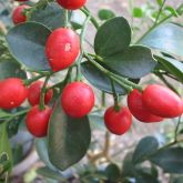 Red berries of the mock orange