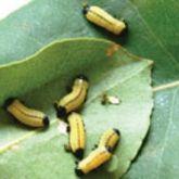 Larvae of the northern eucalyptus leaf beetle (<em>Paropsisterna cloelia</em>)
