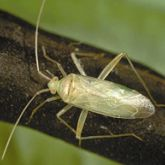 Slim green insect with long legs and antennae.