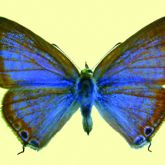 Blue butterfly with brown edges