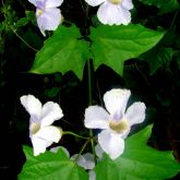 Blue thunbergia leaves and flowers