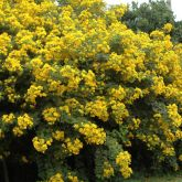 Easter cassia plant