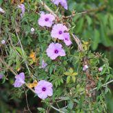 Coastal morning glory flowers
