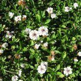 Lippia flowers