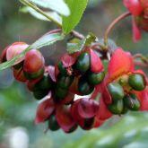 Ochna fruit close-up