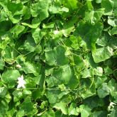 Ivy gourd mass of leaves