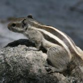 Indian palm squirrel dorsal view