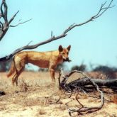 Dingo with prey