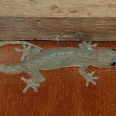 Asian house gecko grey-green