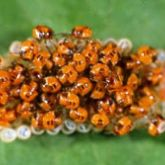 Cluster of small, bright orange nymphs with brown spots