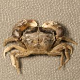 Small crab about 1–2cm