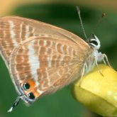Brown and white butterfly underside with 1 black spot on each wing surrounded by orange border