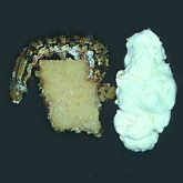 White velvety layer covering larvae infected with Beauveria