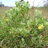 Bitou bush plant form
