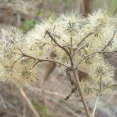 Siam weed wind borne seeds