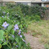 Blue thunbergia infestation
