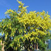Golden chain tree full tree in flower