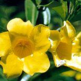 Yellow allamanda flower