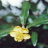 Ochna flower