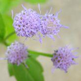 Praxelis flower close-up